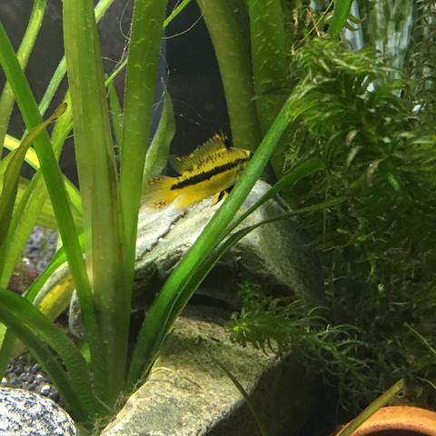 Weibchen  - (Fische, Fischarten)