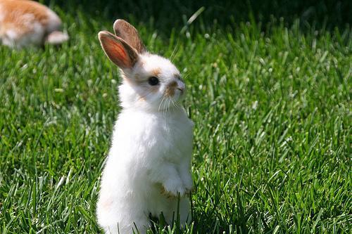 Kaninchen - (Tiere, Haustiere)