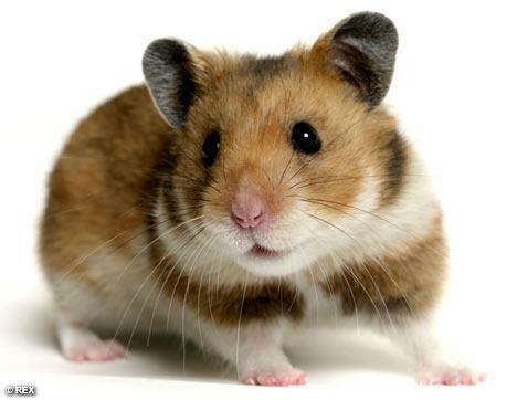 Hamster - (Tiere, Haustiere)