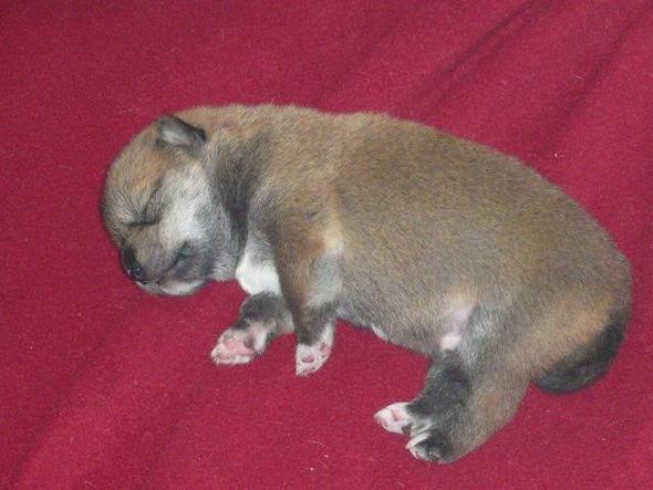 3 wochenalter welpe - (Hund, Welpen, Jack Russell)