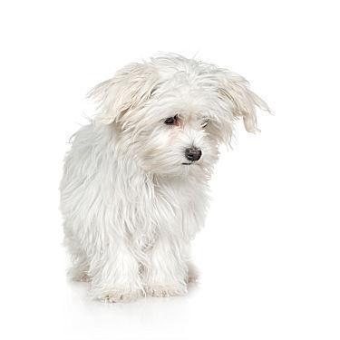 kleine hunde f r allergiker hund allergie. Black Bedroom Furniture Sets. Home Design Ideas