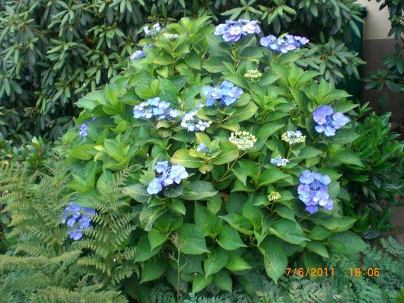 hortensien pflanzen hortensien pflanzen infos hortensientr ume hortensien im garten pflanzen. Black Bedroom Furniture Sets. Home Design Ideas