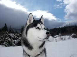Siberian Husky - (Tiere, Hund, Rasse)
