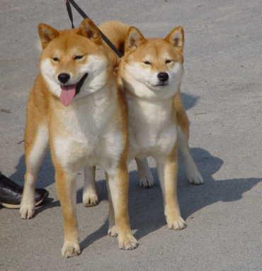 rötlich-orangener Shiba Inu - (Tiere, Hund, Rasse)