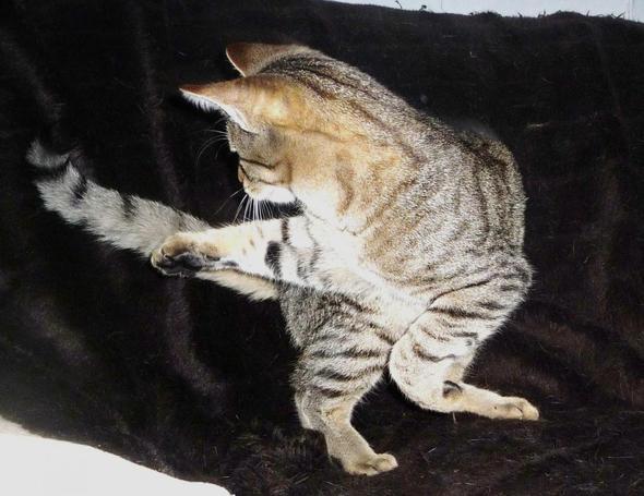 fillip, der tänzer - (Katze, Katzen, zunehmen)
