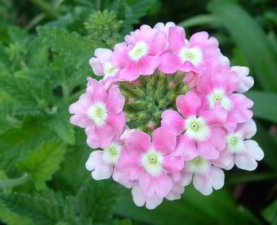 - (Pflanzen, Blumen, bluete)