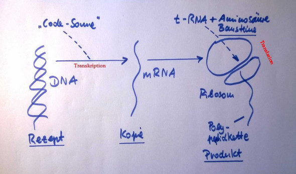 Proteinbiosynthese: Codogener Strang = derjenige, der von der mRNA ...
