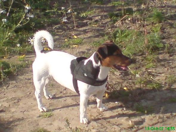 Nico - (Hund, Welpen, Jack Russell)