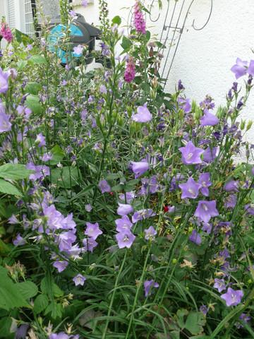 - (Garten, Blumensamen, Glockenblume)