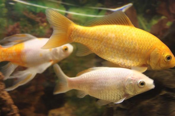 goldfisch ist silber fische fisch aquarium. Black Bedroom Furniture Sets. Home Design Ideas