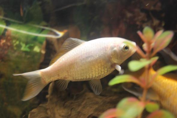 goldfisch ist silber fische aquarium goldfische. Black Bedroom Furniture Sets. Home Design Ideas