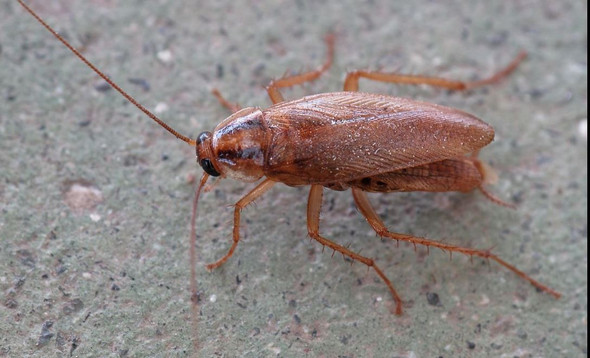 Was Fur Ein Kafer Ist Das Eine Schabe Tiere Insekten Schaben