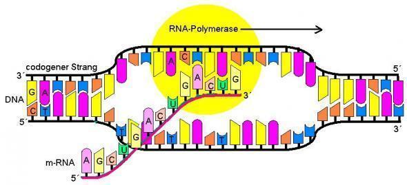 Transkription im Zellkern - (Biologie, Genetik)