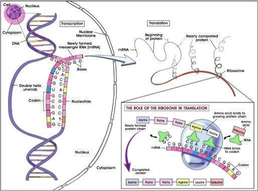 Translation im Zytoplasma - (Biologie, Genetik)
