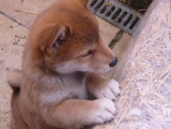 shiba inu welpe (6 wochen alt) - (Tiere, Hund)