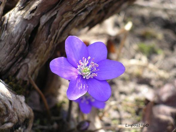 Leberblümchen - (Geschenk, Pflanzen, Blumen)