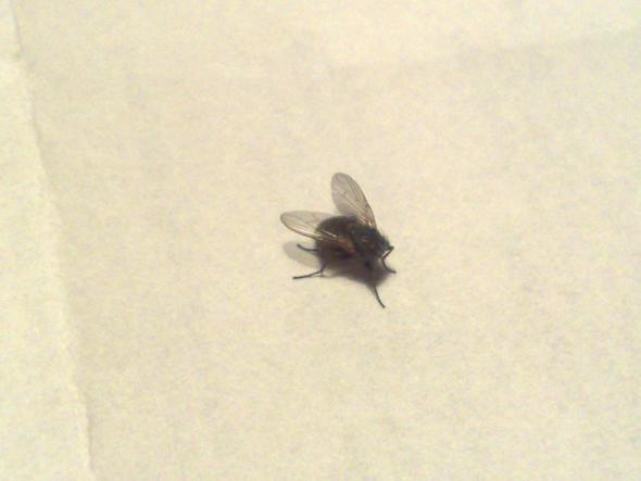 k nnen fliegen ohne kopf noch weiterleben leben fliege. Black Bedroom Furniture Sets. Home Design Ideas