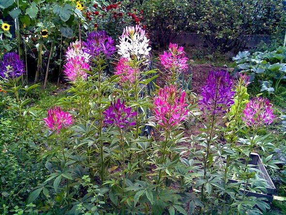 Spinnenpflanze,Busch - (Garten, Pflanzen, Blumen)