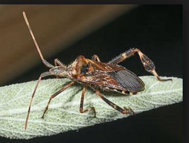 Welches Insekt Ist Das Kakerlake Schabe Insekten Kakerlaken