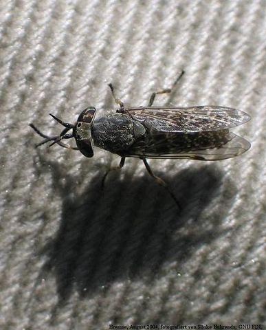 Tabanida - (fliegen, Insekten, Ungeziefer)