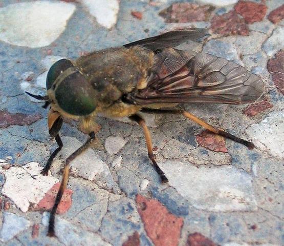 Tabanus bromius - (fliegen, Insekten, Ungeziefer)