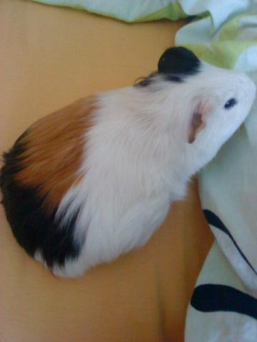 so sieht ein schwangeres meerschweinchen aus! - (Tiere, Meerschweinchen)