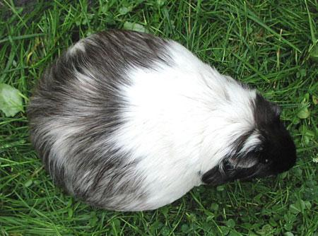 so könnte auch ein schwangeres meerschweinchen aussehen - (Tiere, Meerschweinchen)