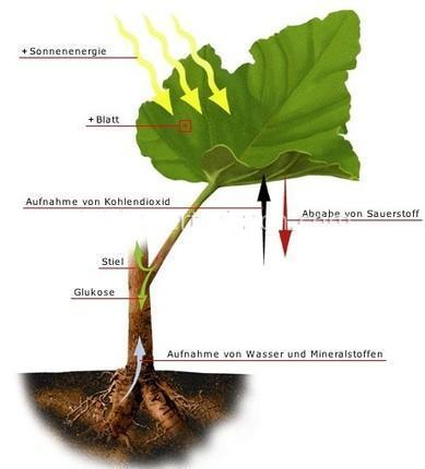 photosynthese - (Schule, Leben, Biologie)