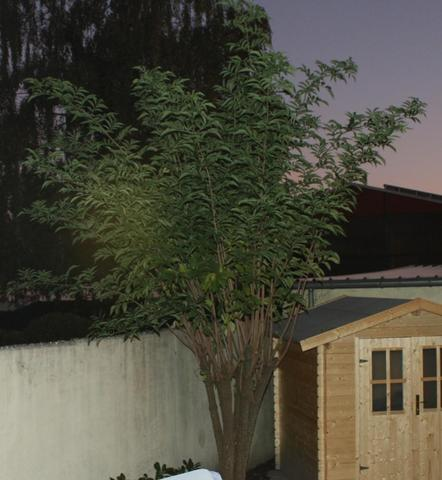 Holunderbaum - (Garten, Pflanzen, Baum)