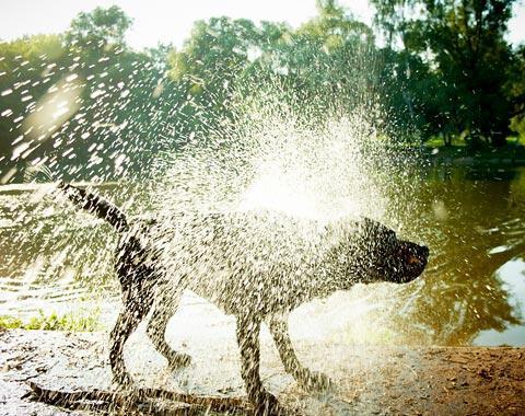 schüttelnder hund - (Hund, Wasser, schwimmen)