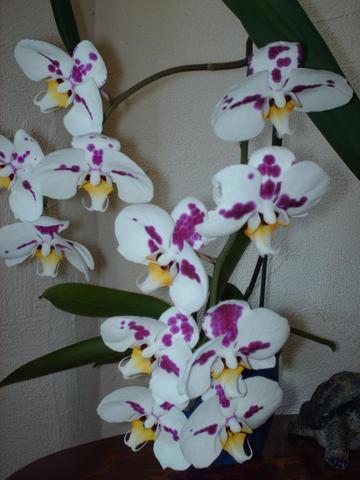Eine meiner Schmetterlings Orchideen 19 Jahre alt - (Tipps, Haushalt, Garten)