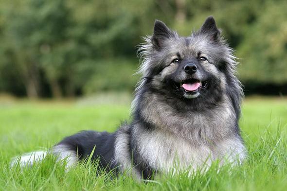 Suche Hunderasse Sieht Aus Wie Ein Mini Husky Tiere Hund Rasse