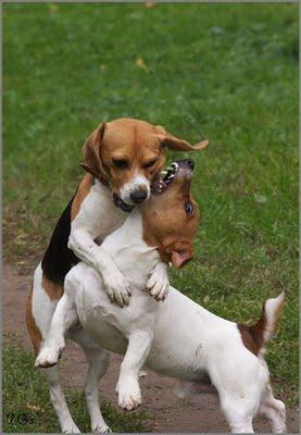 Erziehung des Parson Jack Russell Terriers eine lösbare