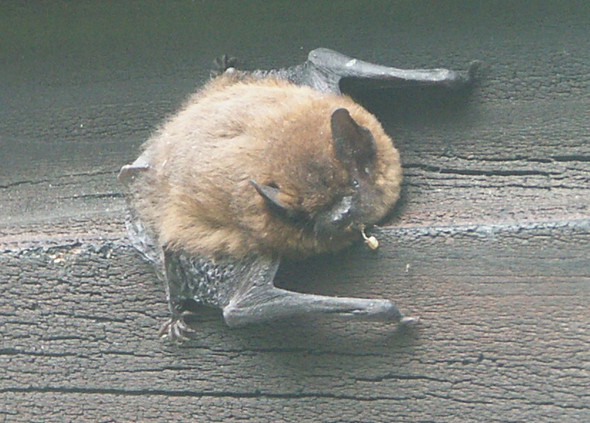 Fledermaus In Der Wohnung Wecken Tiere