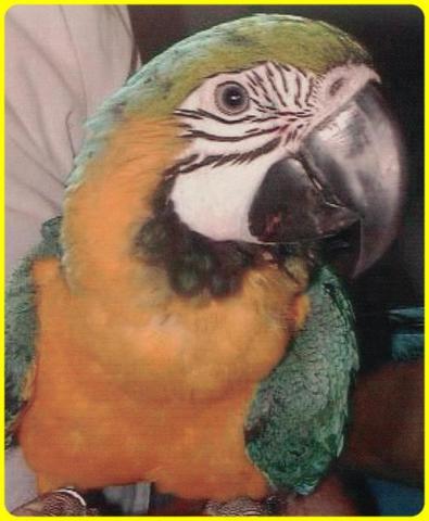 Ara Ronny - (Tiere, Haustiere, Vögel)