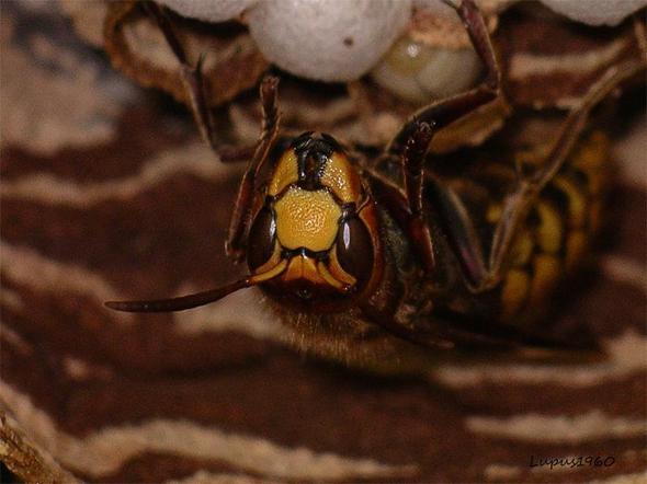 wachsame Hornissenönigin - (Tiere, Insekten, Hornissen)