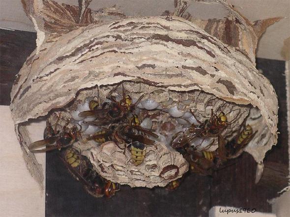 wachsender Hornissenstaat - (Tiere, Insekten, Hornissen)
