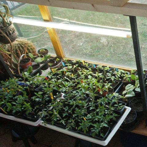 licht f r pflanzenspr slinge chilis garten pflanzen. Black Bedroom Furniture Sets. Home Design Ideas