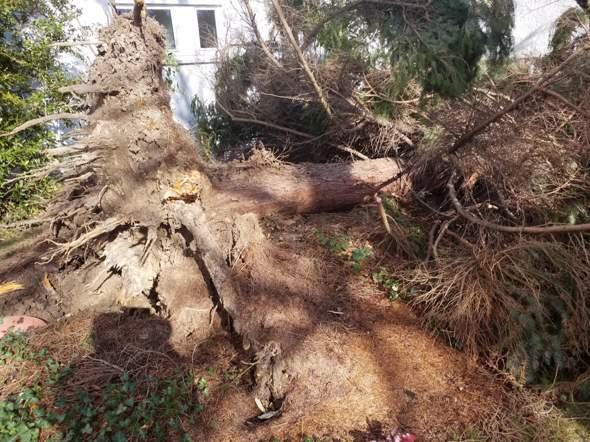 - (Baum, Sturm Sabine)