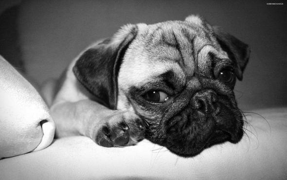 was f r hundrassen mit knautsch gesichter gibt es haustier haustiere hund. Black Bedroom Furniture Sets. Home Design Ideas