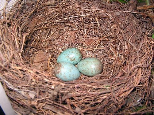 welches tier legt blaue eier tiere farbe blau. Black Bedroom Furniture Sets. Home Design Ideas
