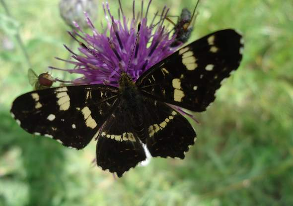 - (Natur, Insekten, Schmetterling)