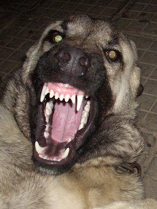 Kurdish Kangal Dog For Sale In Usa