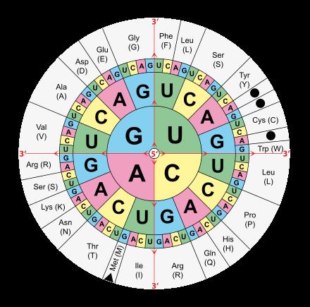 - (Biologie, Genetik, DNA)