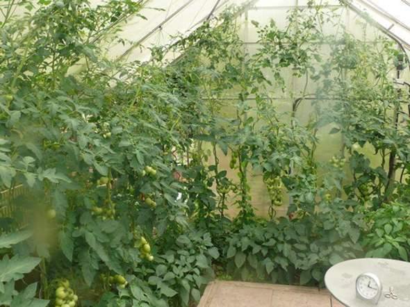 - (Pflege, Pflanzenpflege, Tomaten)