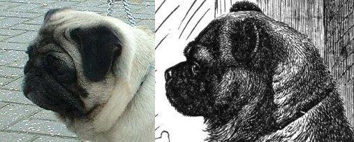 Mops 1927 und 2003 - wikipedia - (Hund, Hunderasse, Hunderassen)