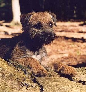 Border  Terrier - (Freizeit, Tiere, klein)