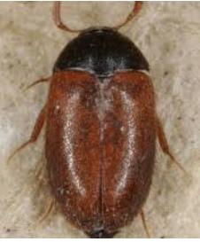 - (Biologie, Haus, Käfer)