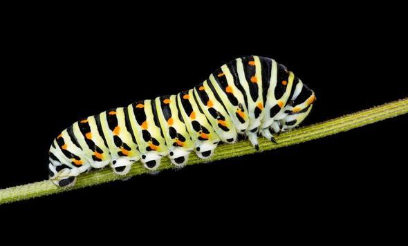 Schwalbenschwanzraupe - (Angst, Phobie, Schmetterling)