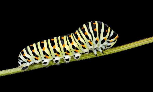 Schwalbenschwanzraupe - (Angst, Insekten, Schmetterling)
